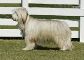 stock photo of herding dog  - A young happy beautiful white fawn Bearded Collie standing on the lawn - JPG