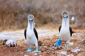stock photo of mating animal  - Couple of blue footed boobies performing mating dance - JPG