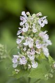 stock photo of catnip  - A close up shot of a catnip bloom.