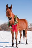 Bay Arabian horse in snow with a Christmas wreath around his neck - concept of gift horse