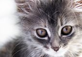 stock photo of cat-tail  - Portrait of a grey striped cute kitten - JPG