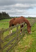 picture of feeding horse  - Grass is always greener on the other side of fence as horse stretches to reach its meal and chews the meadow grass - JPG
