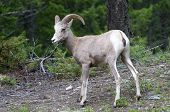 stock photo of radium  - Bighorn sheep walking in the Radium Hot Spring area - JPG