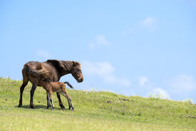 picture of lactating  - Lactating wild mare with foal on the green hillside under blue sky - JPG
