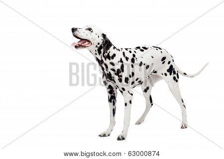 Dalmatian dog, isolated on white
