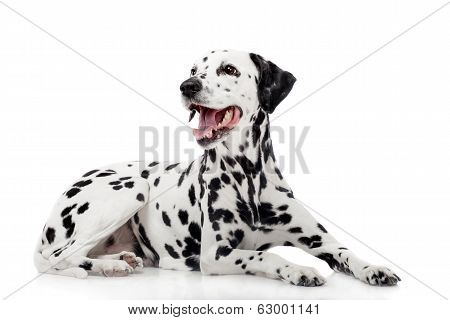 Dalmatian dog, isolated on white