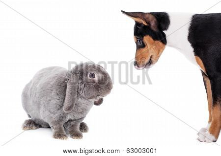 Grey lop-eared rabbit with basenji puppy