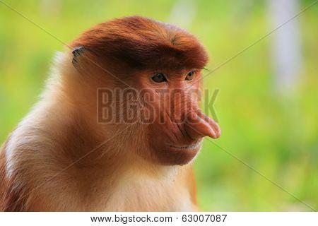 Portrait Of Proboscis Monkey, Borneo, Malaysia