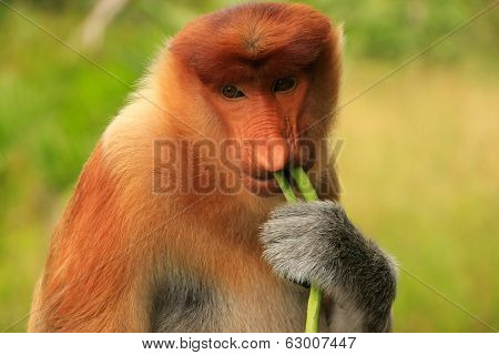 Portrait Of Proboscis Monkey Eating, Borneo, Malaysia