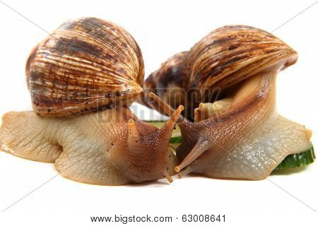 Two Achatina Snails