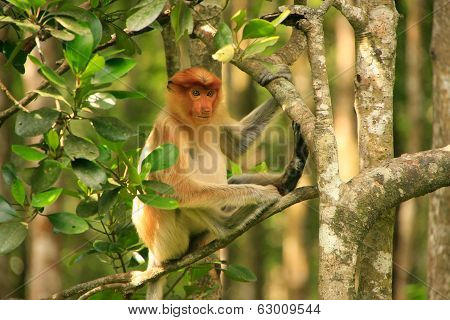 Young Proboscis Monkey Sitting On A Tree, Borneo, Malaysia