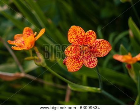 Blackberry Lily aka Iris domestica (Belamcanda chinensis)