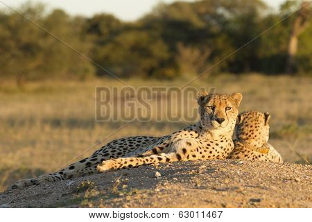 Two Female Cheetahs (acinonyx Jubatus)  South Africa