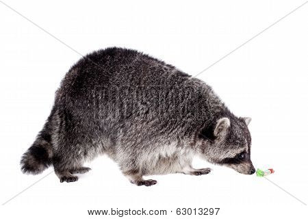 Raccoon (Procyon lotor) on the white background