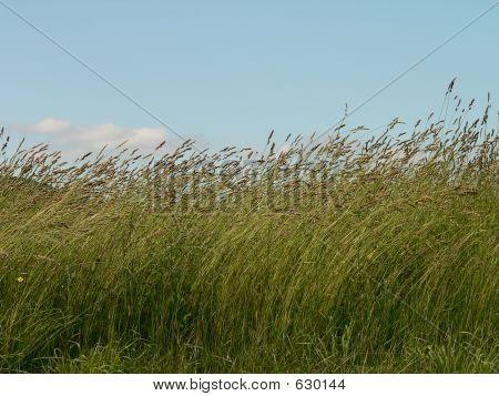 Tall Grass In Breeze