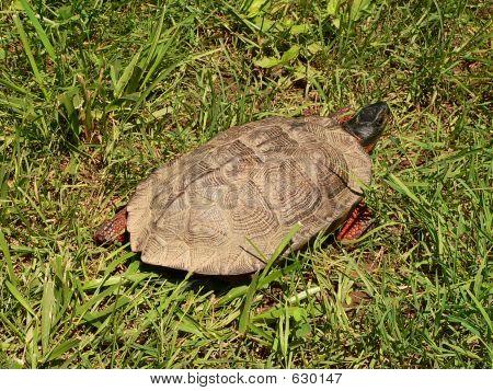 Wood Turtle Far