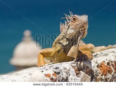 Iguana Climbing a Fortress