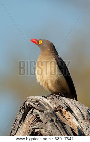 Red-billed oxpecker (Buphagus erythrorhynchus) perched on a branch,  South Africa