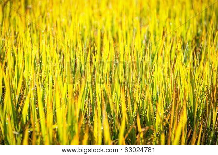 Green Leaf Of Paddy Rice In Filed
