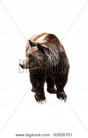 Young Bear Isolated On White Background