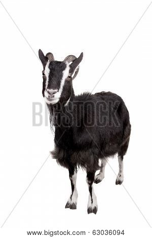 Toggenburg goat on the white
