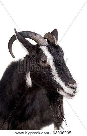 Toggenburg goat on the white