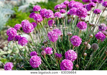 Pink Flowers - Sea Thrift (armeria Maritima)