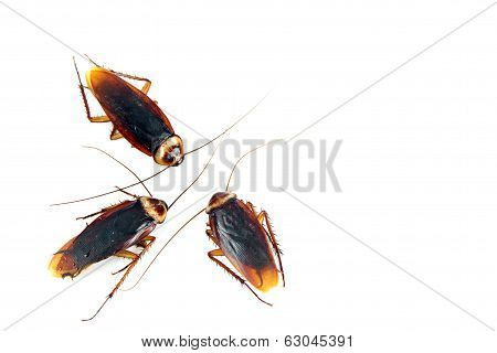 Three Cockroaches Isolated.