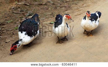 The Muscovy Duck