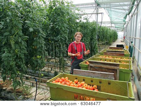Farmer picking tomato