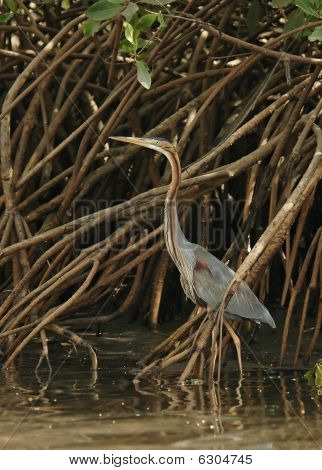 Purple Heron Concealed
