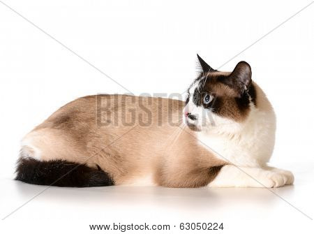 ragdoll cat laying down isolated on white background