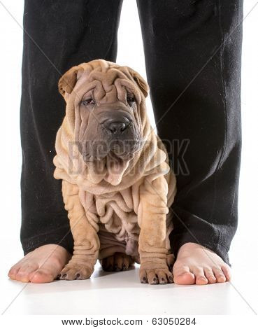 dog sitting at owners feet isolated on whit background - chinese shar pei