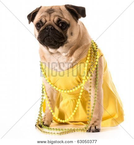 female pug wearing yellow sundress and beads isolated on white background