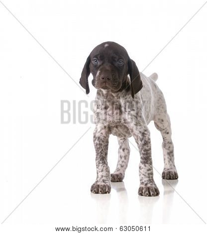 german shorthaired pointer puppy standing isolated on white background