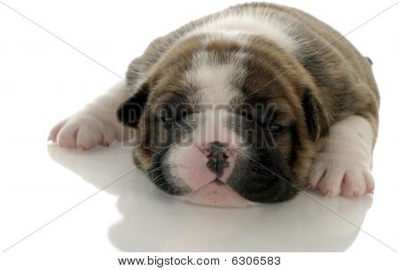 Brindle Bulldog Puppy 3 Weeks