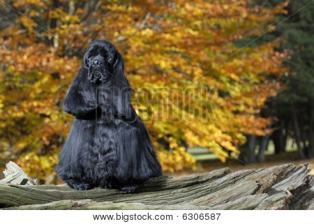 Cocker Spaniel With Autumn Background