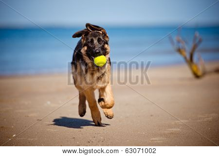 german shepherd puppy on the beach