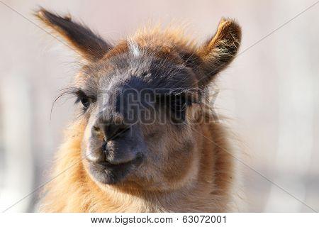 Lama Glama Looking At The Camera