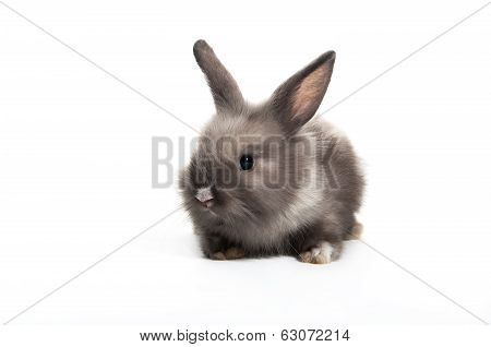 Cute Gray  Baby Rabbit Sitting On White Background