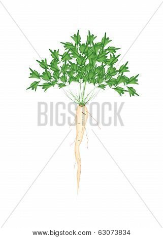 Fresh Green Parsley Root On White Background