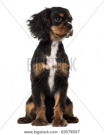 Cavalier King Charles Spaniel puppy looking away (4 months old), isolated on white