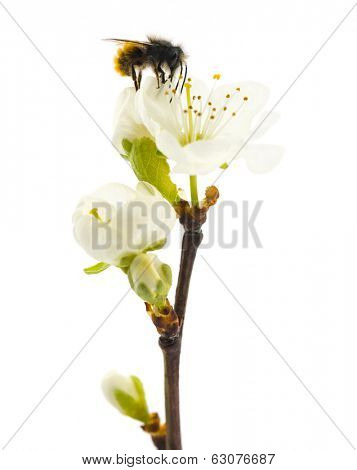 Bee pollinating a flower - Apis mellifera, isolated on white