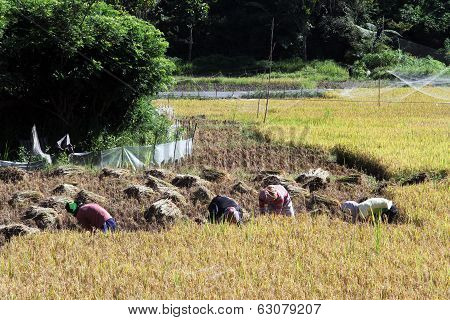 Rice Harvestind