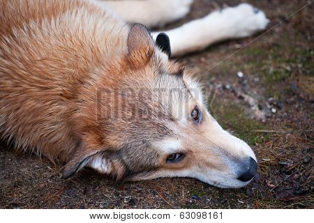 Sad Dog Laying On The Ground