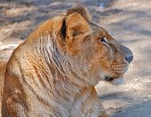 pic of lioness  - Photo of the profile of the head of a lioness - JPG