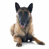 stock photo of belgian shepherd dogs  - belgian shepherd in front of white background - JPG