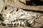 image of panthera uncia  - Lying family of Snow Leopard Irbis  - JPG