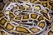picture of coiled  - Close up yellow snake boa coiling sleep - JPG