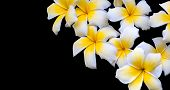 foto of frangipani  - White Yellow Frangipani isolated on black background - JPG